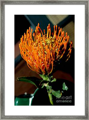 Orange Pin Cushion Protea Framed Print by Alyssa Rogers
