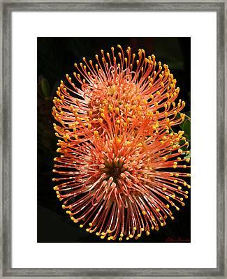 Orange Pincushions Framed Print by Ellen Henneke