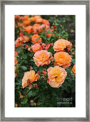 Orange Roses Framed Print by Carol Groenen