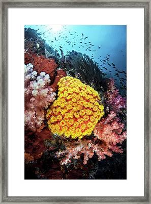 Orange Sun Coral Framed Print by Ethan Daniels