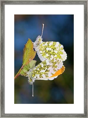 Orange-tip Butterflies Mating Framed Print by Dr. John Brackenbury