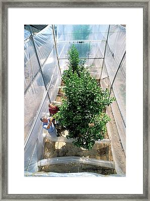 Orange Tree Growth Research Framed Print by Jack Dykinga/us Department Of Agriculture