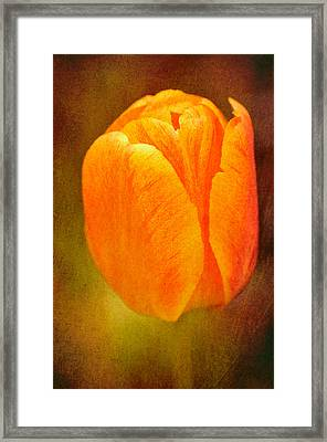 Orange Tulip Brown Texture Framed Print by Matthias Hauser
