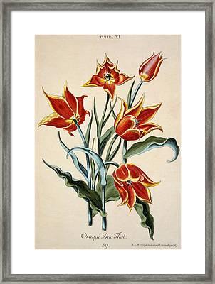 Orange Tulip Framed Print by Conrad Gesner