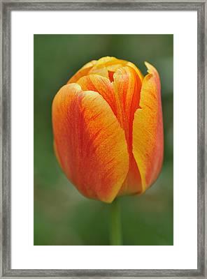 Orange Tulip Framed Print by Matthias Hauser