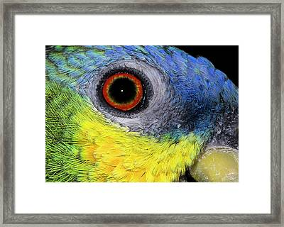Orange-winged Amazon Parrot Framed Print by Nigel Downer