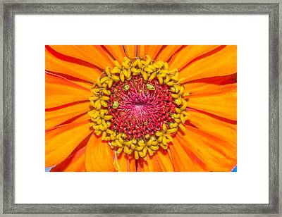 Orange Zinnia Framed Print by Dean Martin