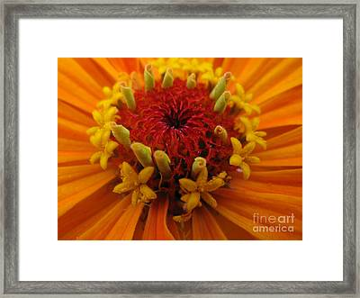 Orange Zinnia. Up Close And Personal Framed Print by Ausra Paulauskaite