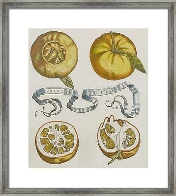 Oranges Framed Print by Cornelis Bloemaert