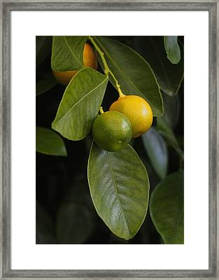 Oranges Ripening On The Tree Framed Print by Rona Black