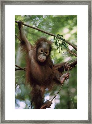 Orangutan Infant Hanging Borneo Framed Print by Konrad Wothe