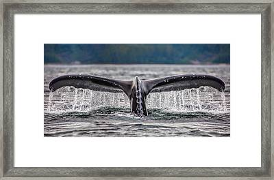Humpback Dive Framed Print by Nancy D Hall