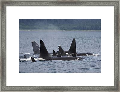 Orca Pod Surfacing Prince William Sound Framed Print by Hiroya Minakuchi