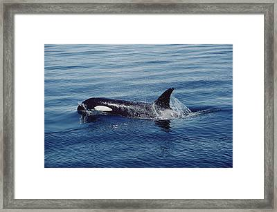 Orca Surfacing Johnstone Strait Bc Framed Print by Flip Nicklin