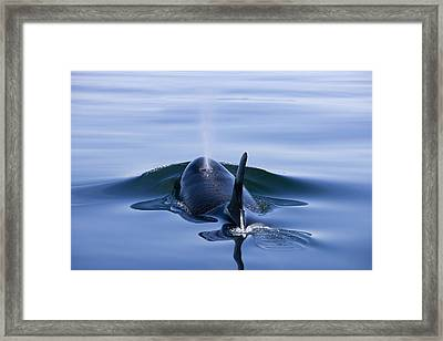 Orca Whale Surfaces In Lynn Canal Framed Print by John Hyde