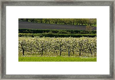 Orchard Blooming Apple Trees. Framed Print by Bernard Jaubert