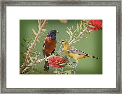 Orchard Oriole Pair Framed Print by Bonnie Barry
