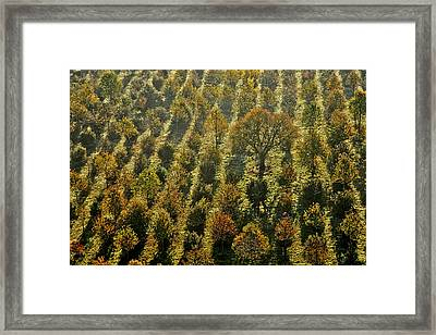 Orchard, Saint Georges De Montaigu Framed Print by Laurent Salomon