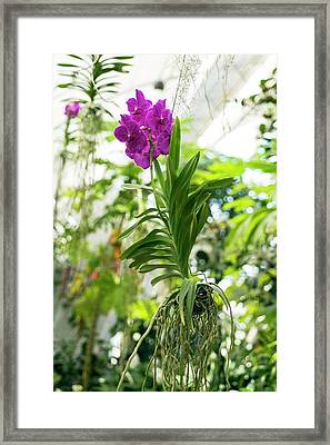 Orchid Framed Print by Bjanka Kadic