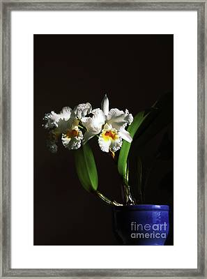 Orchid Cattleya Bow Bells Framed Print by Charline Xia