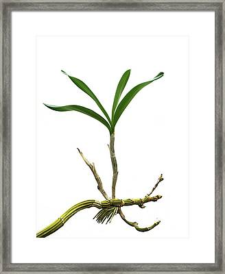 Orchid (dendrobium Sp.) Daughter Plant Framed Print by Cordelia Molloy