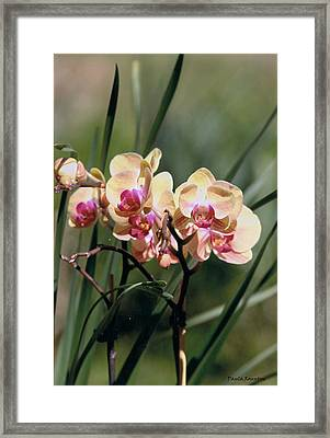 Orchid Dream Framed Print by Paula Rountree Bischoff