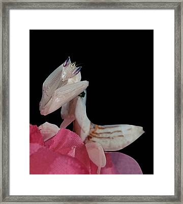 Orchid Female Mantis  Hymenopus Coronatus  2 Of 10 Framed Print by Leslie Crotty