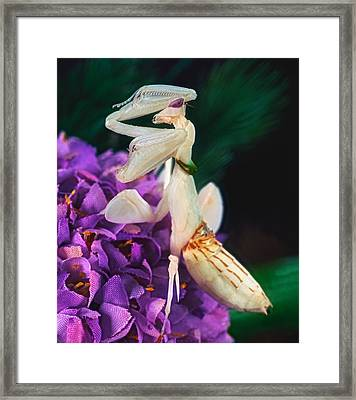 Orchid Female Mantis  Hymenopus Coronatus  9 Of 10 Framed Print by Leslie Crotty