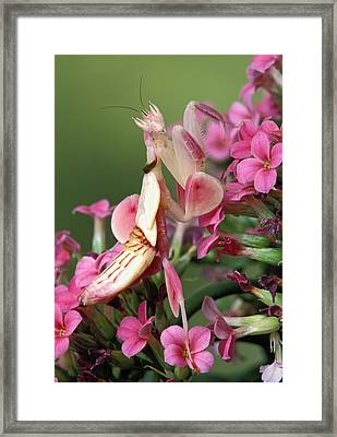 Orchid Mantid Hymenopus Coronatus Framed Print by Robert Jensen
