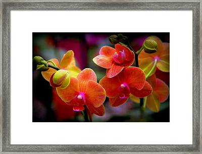 Orchid Melody Framed Print by Karen Wiles