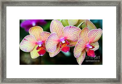 Orchid Trio Framed Print by Kathleen Struckle