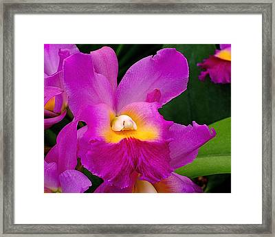 Orchid Variations 1 Framed Print by Rona Black