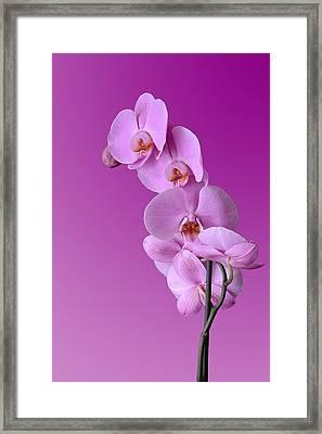 Orchidea Rosa Framed Print by Orazio Puccio