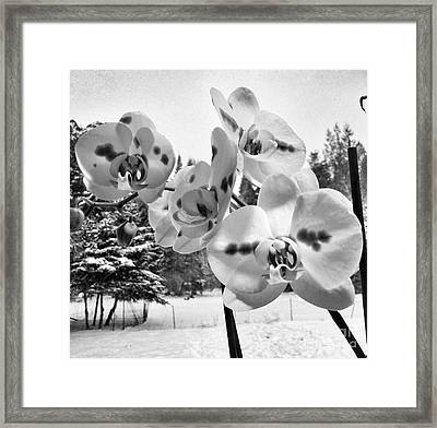 Orchids In Winter Framed Print by Heather L Wright