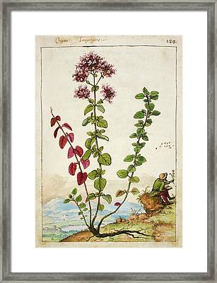 Oregano (origanum Sp.) Framed Print by British Library