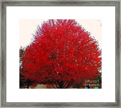 Oregon Red Maple Beauty Framed Print by Kim Petitt