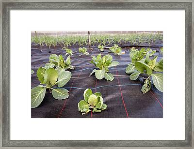 Organic Cabbage Crop Framed Print by Ashley Cooper