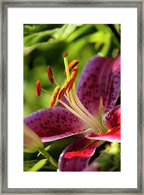 Oriental Lily (lilium Sp.) Flower Framed Print by Maria Mosolova