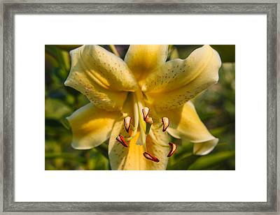 Oriental Lily Framed Print by Omaste Witkowski