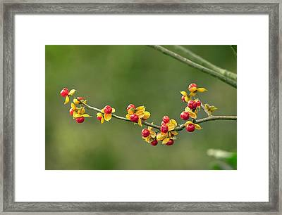 Oriental Staff Vine Fruit Framed Print by Science Photo Library