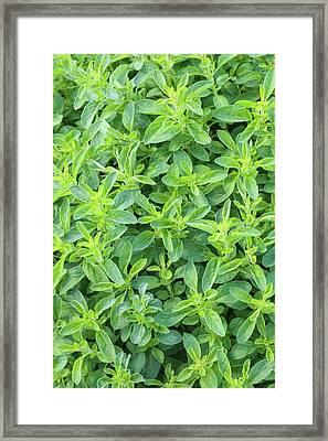 Origanum Vulgare Framed Print by Geoff Kidd