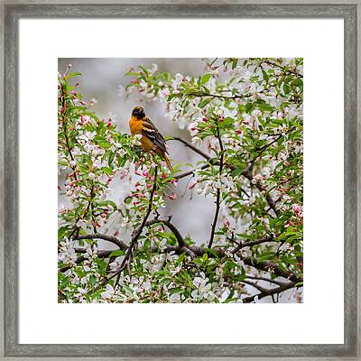 Oriole In Crabapple Tree Square Framed Print by Bill Wakeley