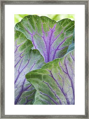 Ornamental Cabbage Leaves Framed Print by Tim Gainey