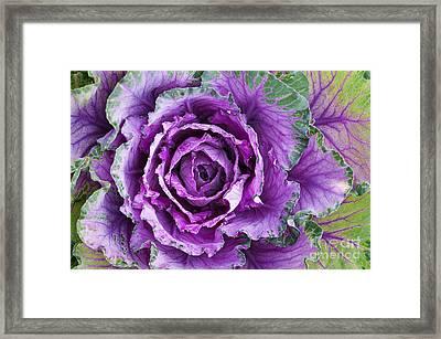 Ornamental Cabbage Framed Print by Tim Gainey