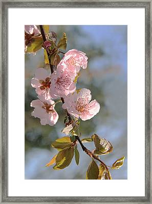Ornamental Plum Tree Pink Flower Blossoms Framed Print by Jennie Marie Schell