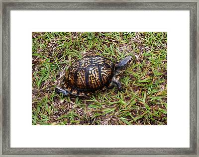 Box Turtle Framed Print by Mechala  Matthews