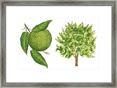 Osage Orange Tree Framed Print by Anonymous