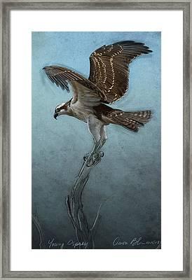 Osprey Framed Print by Aaron Blaise
