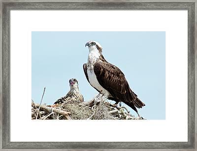 Osprey And Chick Framed Print by Bob Gibbons