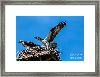 Osprey Arriving Home Framed Print by Robert Bales